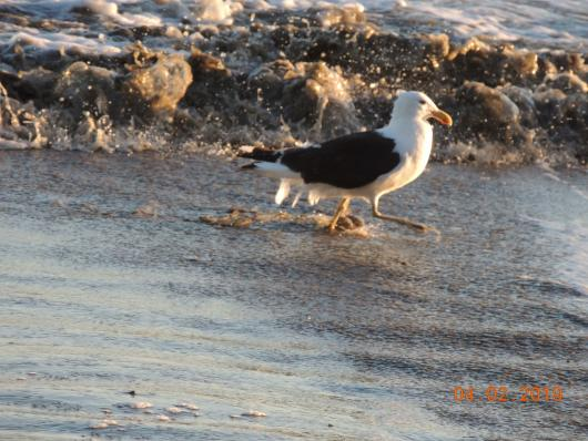 Gull at Marfells Beach