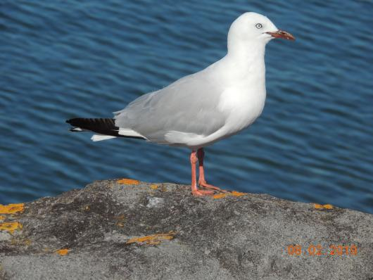 Sea Gull New Plymouth