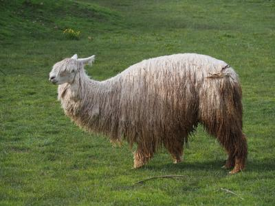 Either a Lama or a mix between Alpaca and Lama.
