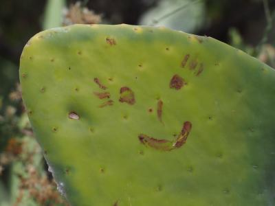 lots of the cactus had white stuff on them which turned out to be mites (Milben). If you Squash them they make a very red Color that the Incas used as a natual lipstick. Someone used them to draw this Smiley.