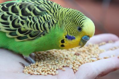 Wellensittich im Vogelpark Marlow