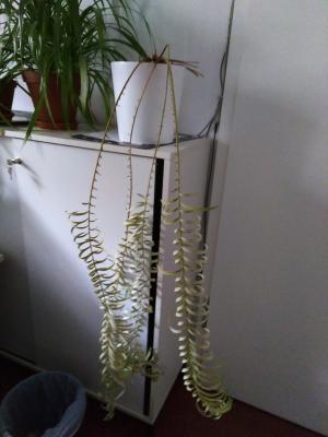 Die Büropflanze hat die Kontaktsperre nicht überlebt.