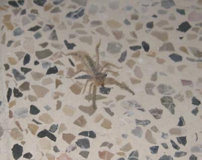 Junge Kamelhaarspinne / young camle spider