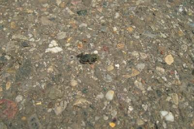 kleiner Frosch auf dem Spazierweg