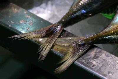 Fisch Fischschwanz Bouillabaisse