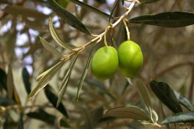 oliven grün frisch ernte