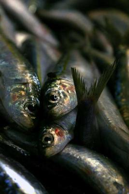 Fisch Sardine