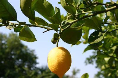 Zitrone Lemon Limoncello