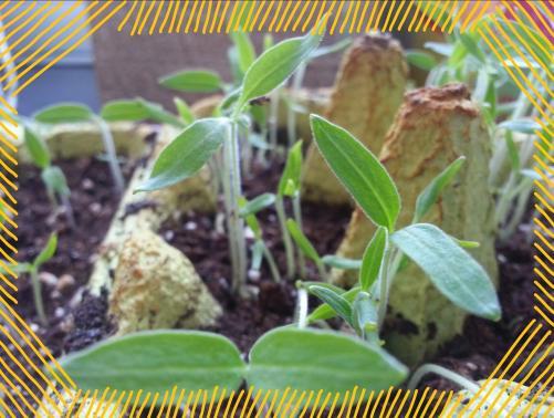 Tomatenpflanzen am 28.2.2015