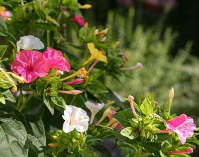 Diese eine Pflanze öffnet jeden Abend einige Blüten: gelbe, rote, weiße, gelbrote... Daher nenne ich sie Wunderblume. Habe die Samen von Mallorca mitgebracht. Weiß jemand wie sie wirklich heiß?