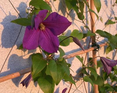 bl mchenknipser fotos aus der flora clematis. Black Bedroom Furniture Sets. Home Design Ideas