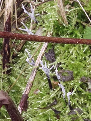 Geweihförmige Holzkeule (Xylaria hypoxylon)