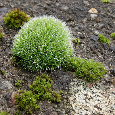 Polster-Kissenmoos (Grimmia pulvinata)