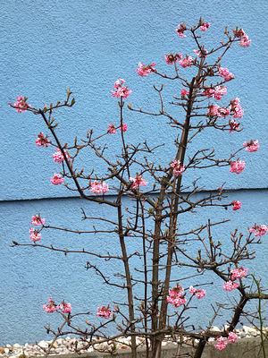 Schneeball (Viburnum x bodnantense)