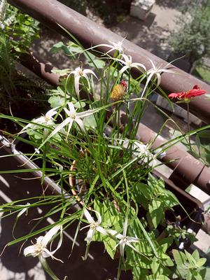 Schnabelriede (Rhynchospora colorata)