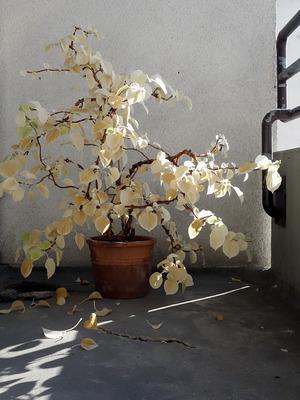 Kletterhortensie (Hydrangea anomala)