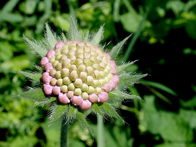 Skabiose (Scabiosa columbaria ?)