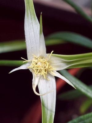"""Rhynchospora colorata """"Sterntänzer"""""""