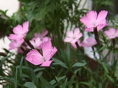 zwerg-pfingstnelke (dianthus gratianopolitanus)