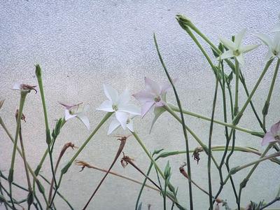nicotiana longiflora, bot. garden berlin