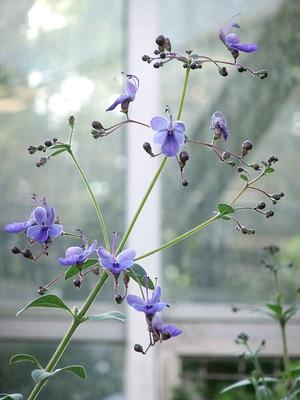 rotheca myricoides, bot. garten berlin