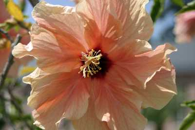 bl mchenknipser fotos aus der flora hibiskus. Black Bedroom Furniture Sets. Home Design Ideas