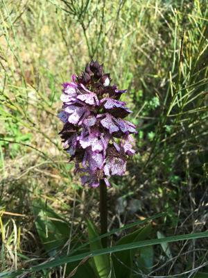 orchis purpurea<br />