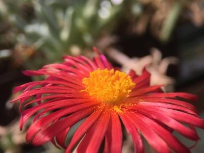 crocea malephora (winterhart im GWH)