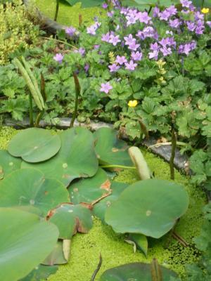 Entengrüße mit Seerosen und n bissl lila