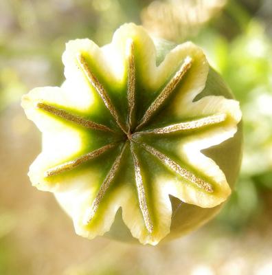 P. somniferum