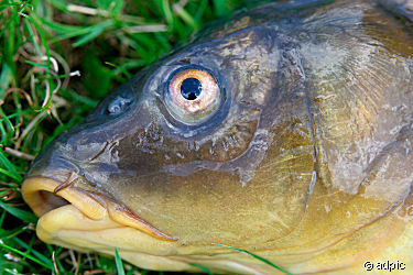Fisch Kopf