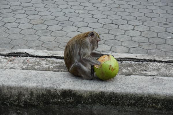 ...an unzähligen diebischen, kokosnussliebenden Affen, die sich auch gern füttern lassen, vorbei...