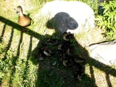 [Bild: Entenküken kühlen sich im Schatten der Fotografin; die Entenmutter ist noch skeptisch]