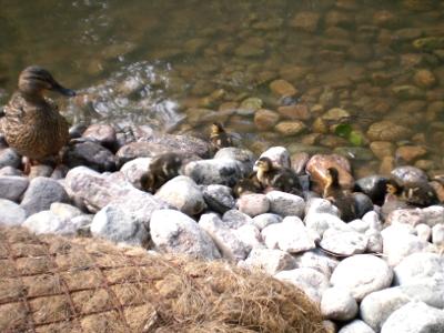 [Bild: Entenküken klettern auf Steinen herum]