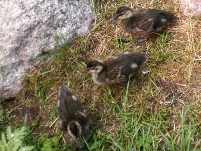 """[Bild: mehrere Wochen alte Entenküken mit den ersten """"Erwachsenenfedern""""]"""