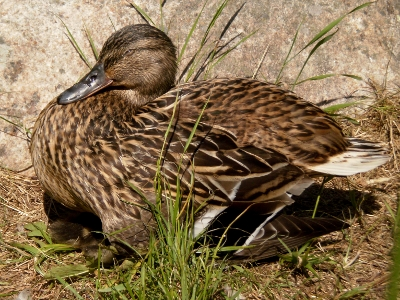 [Bild: Entenmutter sitzt auf jungen Entenküken]