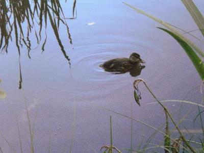 [Bild: Stockentenküken schwimmt weg]