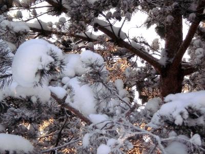 [Bild: Kiefernzweige mit Schnee]