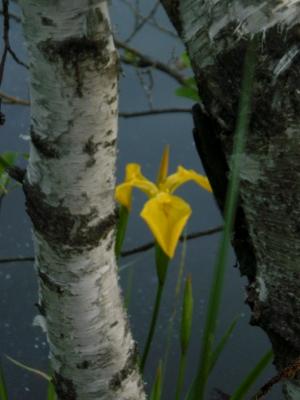[Bild: eine Lilie blüht am Teichufer zwischen Birken]