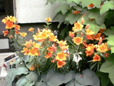 [Bild: orangefarbene Lilien blühen neben der Haustür]