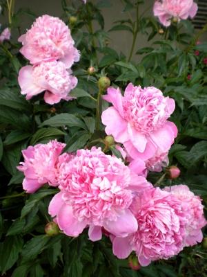 [Bild: rosa Pfingstrosen im Garten]