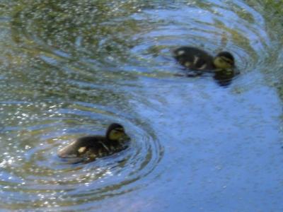 [Bild: zwei Entenküken fressen auf dem Wasser schwimmende Samen]