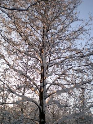 [Bild: kahler und schneebedeckter Baum]