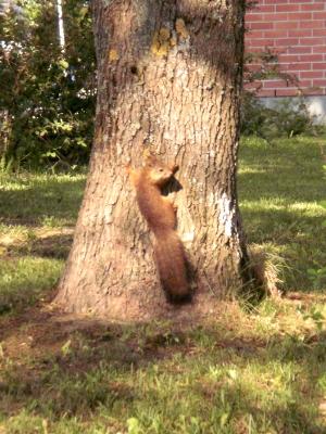 [Bild: überrascht guckendes Eichhörnchen an Baumstamm]