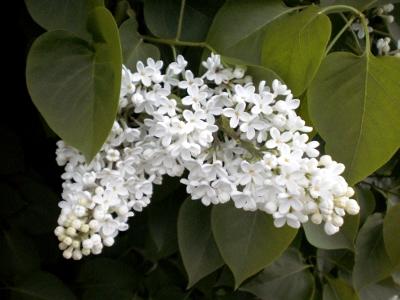 [Bild: Blütendolden von weißem Flieder]