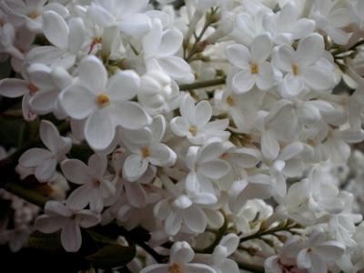 [Bild: Blüten von weißem Flieder]