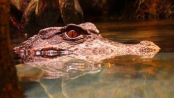 Alligator. (novala)