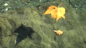 Leaf in the water. (novala)