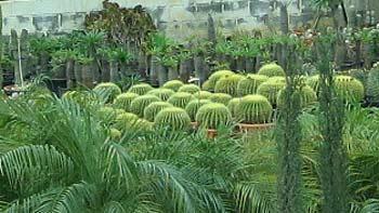 Cactus. (novala)