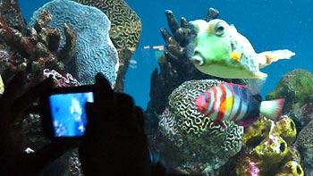 Cowfish following camera. (novala)